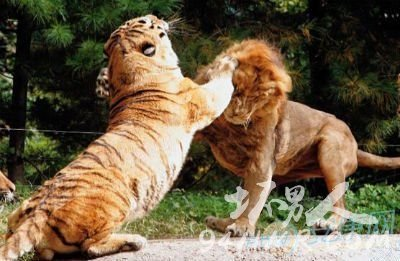 狮子和老虎哪个厉害?韩国动物园狮虎大战